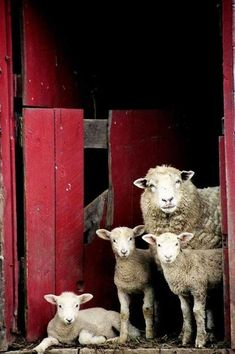 A little sheep family