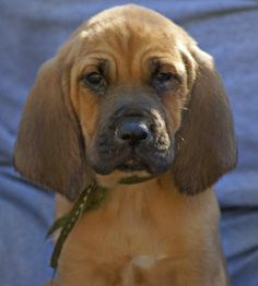 Bloodhound dogs - Pets Cute and Docile