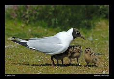 Lachmöwe mit Küken • Insel Texel, Nord-Holland, Niederlande (21-21340) von Markus Essler