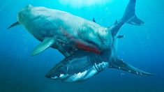 Megalodon was the world's biggest ever shark - probably the largest ever fish! Megalodon facts for kids & adults, information & pictures, prehistoric fish. Baleen Whales, Big Shark, Megalodon Shark, Apex Predator, Facts For Kids, Wale, Great White Shark, Prehistoric Animals, Sea Monsters