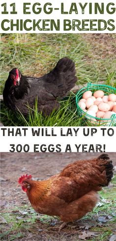 Find out what are the best egg laying chicken breeds that you can add to your chicken flock. Some of these chicken breeds can lay up to 300 eggs per year! If you want to raise backyard chickens for eggs, make sure you pick the right types of chickens for egg laying. #RaisingChickens #ChickenBreeds