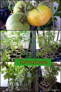 From the greenhouse...February 3, 2015  Lots and lots of tomatoes...