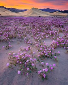 "americasgreatoutdoors: ""Death Valley National Park is famous for its spectacular spring wildflower displays. While the intensity of the bloom varies greatly from year to year, flowers are never..."
