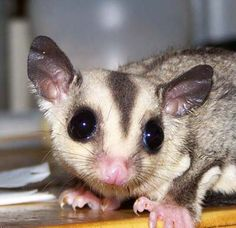 Sugar gliders good pets are fairly tidy as well as do not have complicated housing requirements.