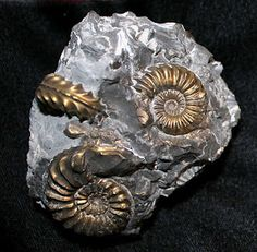 Pleuroceras spinatum pyrite fossils via  Bonnie Koenig via Neural Damage