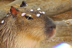 22 Capybaras Bein' So Fancy