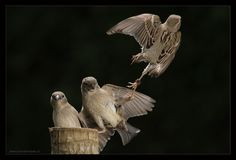 Amazing Kung fu Sparrows - InsaneTwist