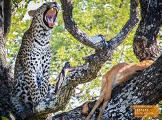 Majestic Leopard Says Ahh - South Africa