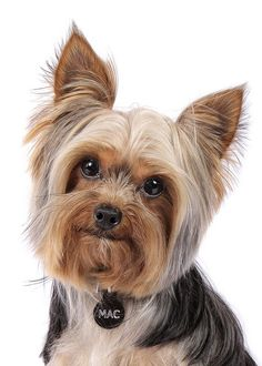 -Собака йоркширский терьер (фото): маленький … Yorkshire Terrier dog (photo): a little friend for your family - Funny Dog Faces, Dog Varieties, Silky Terrier, Yorkshire Terrier Dog, Yorkie Puppy, Fluffy Dogs, Terrier Dogs, Funny Dog Pictures, Dog Cat