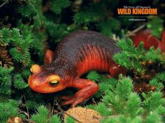 My Favorite  Amphibian: Salamander