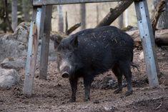 Mycket trikiner i skjutet vildsvin - Svensk Jakt Farm Life, Animales