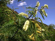 Acacia caffra (Common hook-thorn)- Warthog Lodge