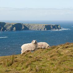 ireland, sheeps