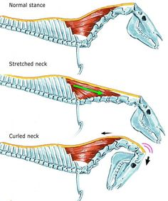 When stretched forward-down-out, the nuchal ligament is not so stretched out, but the muscles that raise the withers are elongated. When rounded in btv/deep the nuchal ligament is stretched but not the muscles. The insertion also changes its angle to the back of the skull