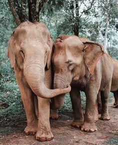 Elephants doing a hug