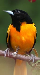 Baltimore oriole-- is a small member of the blackbird family. This family probably contains more individuals than any other bird family in Ohio, but includes only a few species. This group of medium-sized, walking birds has very diverse coloration and hab Ohio Birds, Birds 2, Love Birds, Pretty Birds, Beautiful Birds, Animals Beautiful, Homemade Bird Houses, Bird Wings, Backyard Birds