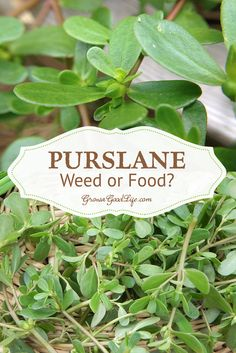 Purslane is packed with nutrition: Purslane is low in calories, high in fiber, an excellent source of the essential amino acids, and vitamins A, C and E. Purslane also has one the highest known concentrations of Omega-3 fatty acid in any plant.