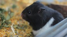 "A calendula-like good morning. ""Ein ringelblumiges guten Morgen."" partnerpage: @proper_hamster_care    #hamster #flauschi #hamstercage #hamstergrass #spring #springtime #hamsterhome #cage #speciesappropriate #syrianhamster #teddybearhamster #teddyhamster #animals #love #cute #cuteanimals #weeklyfluff #livenatural #livethelittlethings #natureman #happy #photography #canon #hamsterlove #hamstercare #happyhamsterfoundation #adoreable #nature #ringelblume #calendula Hamster Care, Hamster House, Syrian Hamster, Happy Photography, Calendula, Natural Living, Cage, Cute Animals, Teddy Bear"