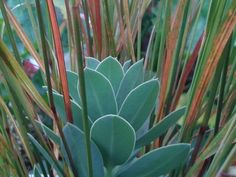 Euphorbia myrsinites and Anemanthele lessoniana in our garden at home