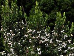Erica Triflora   Bearded Tree Erica     Baardboomheide   S A no 575