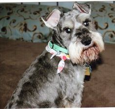 Binky is an adoptable Schnauzer Dog in Sharonville, OH. Binky,  Updated bio, Please read... Miraculous and heartwarming  Hi there, my name is Binky. I am a 5 year old salt and pepper Schnauzer. I wa...
