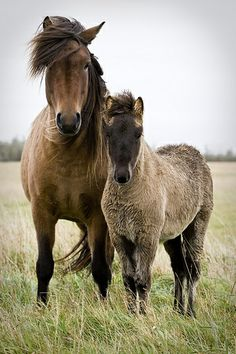 Icelandic Horse with Foal - Rainy day in the country.