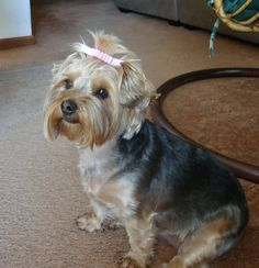 yorkie poo haircuts | Matches 1 - 60 of 3583 yorkie Search and download from millions of HD ...
