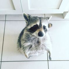 Just one more...pwetty pwease? #pumpkintheraccoon #raccoon #weeklyfluff #dailyfluff #instagood #instagram #instadaily #RaccoonLove #raccoonsofinstagram by pumpkintheraccoon