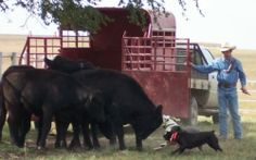 Cattle Dog Clinic with Charlie Trayer & Gary Ericsson - November 14-16, 2013