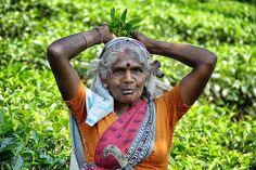 Tea Picker in Sri Lanka