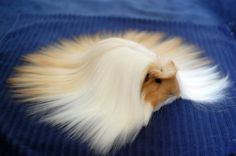 Meanwhile, all the girls show up looking completely fabulous. | The First Day Of School, According To Cute Guinea Pigs Cavy, Laugh Out Loud, Corgi, Clip In Hair Extensions, Good Hair Day, Bunny, Cool Hairstyles, Funny Hair, Good Things