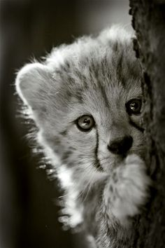 Cheeta cub hiding behind a tree.