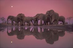Reflections of an family of elephants... what an awesome photo!