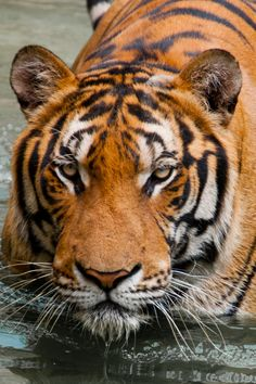 Do you know that there are still tigers, elephants, leopards, gaurs, bears roaming free in many national parks across Thailand?