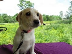 Maisy is an adoptable Labrador Retriever searching for a forever family near Medfield, MA. Use Petfinder to find adoptable pets in your area.