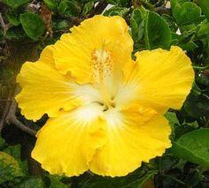 10 nueva luz amarilla Hibiscus semillas de flores chino Inicio jardín plantas, Hibiscus Rosa-sinensis - hacen su jardín Ensenada!