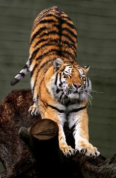 ''Siberian Tiger stretching'' (521×800) link: http://static.englishdictionary.education/800/stretching.jpg