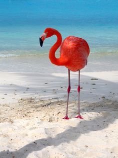 I have seen flamingos all over the world but yet to see one this vibrant. Pretty Birds, Love Birds, Beautiful Birds, Beautiful World, Animals Beautiful, Pretty In Pink, Flamingo Art, Pink Flamingos, Flamingo Beach
