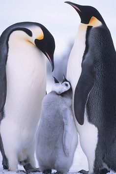 Emperor penguins and chick at Snow Hill Island rookery