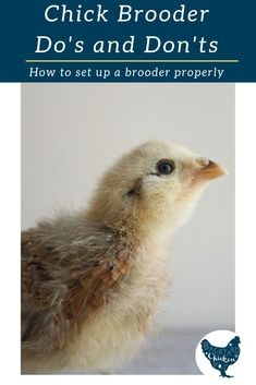After scouring resources for how to properly set up a chick brooder with no answers, here are the chick brooder do's & don'ts from the experts. Raising Meat Chickens, Raising Quail, Raising Ducks, Baby Chickens, Keeping Chickens, Backyard Poultry, Chickens Backyard, Hatching Chickens, Day Old Chicks
