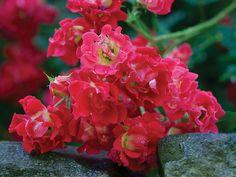 Drift® Roses | Star Roses & Plants