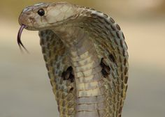 Asian Cobra  While the Asian Cobra doesn't hold the title of most venomous snake, it does the most with what it has. Of the 50,000 deaths by snakebite a year, Asian Cobras are responsible for the largest chunk.