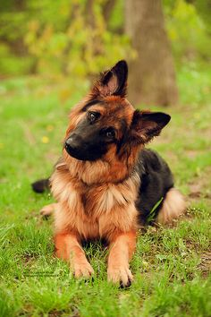 Love the way German Shepherds turn their heads like this...