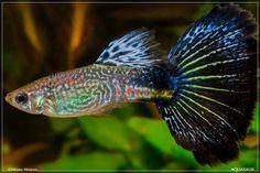Blue mosaic snakeskin Guppy