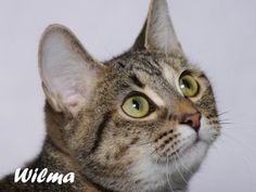 Wilma is an adoptable Tabby - Brown Cat in Indianapolis, IN. This pretty tabby and tortie mix is Wilma. Wilma is a young kitty at seven months old and loves to play. She's fun and sociable. Wilma real...