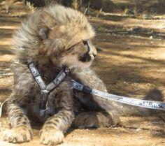 sweetie Conservation, Cheetah, Fox, Cats, Animals, Gatos, Animales, Animaux, Animal
