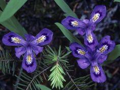 Michigan state wildflower Lake Iris