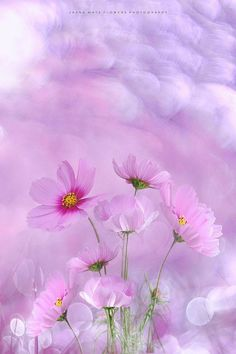 ~ Dreamy Cosmos ~ by Jasna Matz - Photo 145155669 - Cosmos Flowers, Flowers Nature, Spring Flowers, Wild Flowers, Flower Backgrounds, Flower Wallpaper, Wallpaper Backgrounds, Beautiful Flowers, Beautiful Pictures