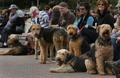 A group of airedales waited for their turn to parade onto the stage at the Spreckels Organ Pavillion Sunday afternoon. The sixth annual Bark in the Park event managed to escape any rainstorm Sunday afternoon. Dozens of canines joined the usual crowd that attends the weekly organ concert in Balboa Park, with a pet parade near the end of the concert.