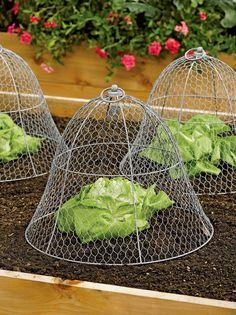 Chicken Wire Cloche #GardeningTips